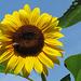 Sonnenblumenzeit