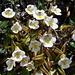 Pinguicula alpina (Grassette des Alpes)