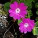 Primula hirsuta (Primevère hérissée)