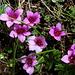 Saxifraga oppositifolia (Saxifrage à feuilles opposées)