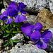 Viola calcarata (Pensée éperonnée)