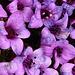 Leicht ramponierte Blütenpracht auf knapp 3500 m.