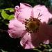 Rosa pendulina (Rosier des Alpes)<br />