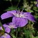 Geranium sylvaticum (Geranium des forêts)