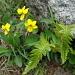 Viola biflora (Pensée à deux fleurs)
