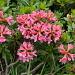 Rhododendro ferrugineum (Rhododendron ferrugineux)