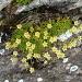 Saxifraga exarata susbp. moschata (Saxifrage musquée)