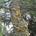 Alter Lärchenbestand mit Pilzen