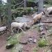 Außer Wanderern begegnet man auch mal einer Schafherde