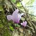 Les cyclamens sont en fleur... la saison d'été est bientôt finie