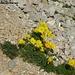 Reiche Flora sogar in der kargen Landschaft - Alpenmohn