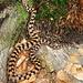 Eine Aspisviper. Gar nicht so selten im Tessin. Die Giftschlange zeigte sich ziemlich träge und posierte geduldig.