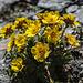 Blumen in der Geröllwüste am Grat