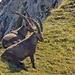 Lueg, lueg, lueg, etz muesch luege...- Am Moorsattel stehen Bergsteiger unter scharfer Beobachtung!
