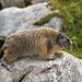 [u marmotta] trifft auf Marmotta
