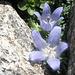 Campanula del Moncenisio. Questo fiore pare proprio gradire [http://www.hikr.org/gallery/photo574141.html?post_id=39603#1 entrambi i pendii] (sia  E che W) del Tamierhorn