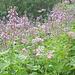 Il sentiero che porta all'Alpe Ghighel è caratterizzato da questo genere di fiori a stelo alto