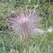 La pulsatilla è quasi più bella nella sua versione estiva che in quella [http://www.hikr.org/gallery/photo786478.html?post_id=50321#1 primaverile]