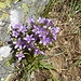 Diese Blumen werden mit steigender Höhe immer häufiger