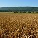 Getreidefelder bei Alvesrode vor dem Kleinen Deister.