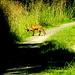 Auf dem Kamm vom Kleinen Deister hält ein Rotfuchs Ausschau nach Mäusen am Wegesrand.