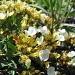 Teucrium montanum (Germandrée des montagnes)