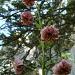 Lilium martagon (Lis martagon)