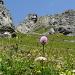 Traunsteinera globosa (Orchis globuleux)