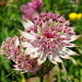 Astrantia major (Grande astrance)