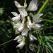 Astragalus alpinus (Astragale des Alpes)