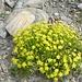 Sassifraga Autunnale (Saxifraga Aizoides )