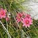 Semprevivo Ragnateloso (Sempervivum Arachnoideum )