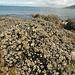 Man steigt an Millionen von Muscheln vorbei, wenn man zur Insel geht
