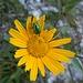 Grüner Glitzerkäfer auf gelber Blume