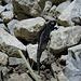Statt den Herdenscharen an Ausflüglern am Nachmittag treffen wir im Abstieg auf einen kleinen, etwas tapsigen Salamander...