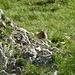 Gemeingefährliches Murmeltier - beschoss uns mit Steinen