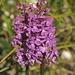 Kleinwüchsige Orchidee?