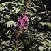 Schmalblättrige Weidenröschen (Chamerion angustifolium)  besten dank an winterbaer.