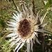 Chardon carline... un hygromètre naturel: il se ferme par temps humide