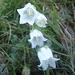 Campanula barbata alba