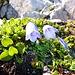 Glockenblumen, sonst überall nur nackter Fels