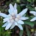 Leontopodium nivale alpinum