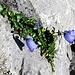 lieblich, die Glockenblumen im Felsspalt