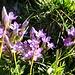 nach dem ersten Felskontakt erfreuen uns wieder prächtige Blumen; hier bezaubernde Feld-Enziane