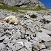 abgestürztes Schaf; nicht das erste wohl, wie die Kieferknochen im Vordergrund zeigen