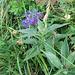 Centaurea montana, Asteraceae.