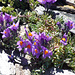Linaria alpina  ( linajola alpina)