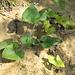 Quando non vengono ricoperte le piante sembrano sopravvivere agevolmente.