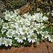 Ein weißes Bleame - vielleicht kann ja wieder ein(e) Botaniker(in) helfen...