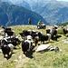 Schwarzhalsziegen bei der Schäferhütte (2418m)